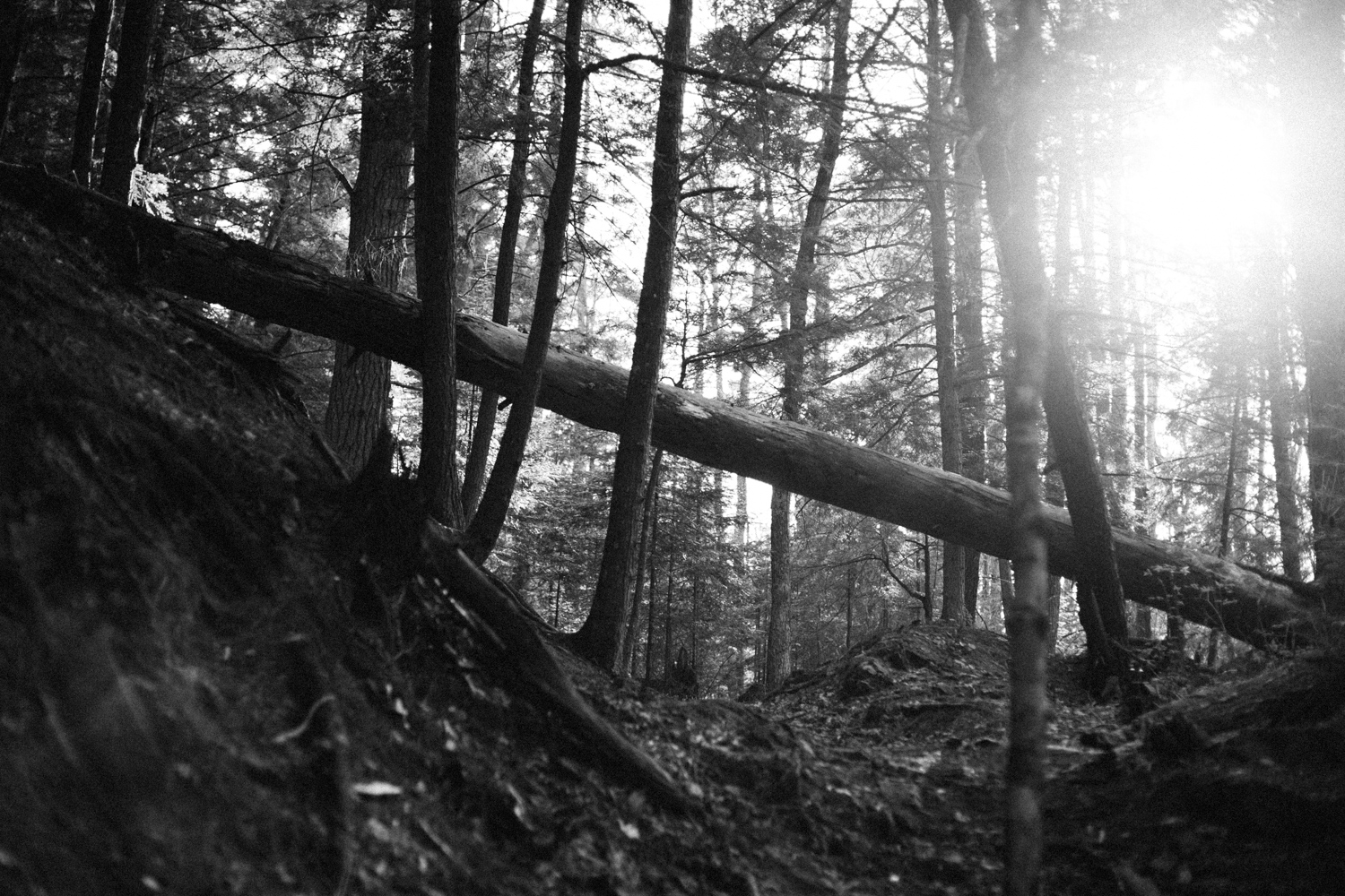 black and white photo of evening sunlight through pine trees in Michigan's upper peninsula