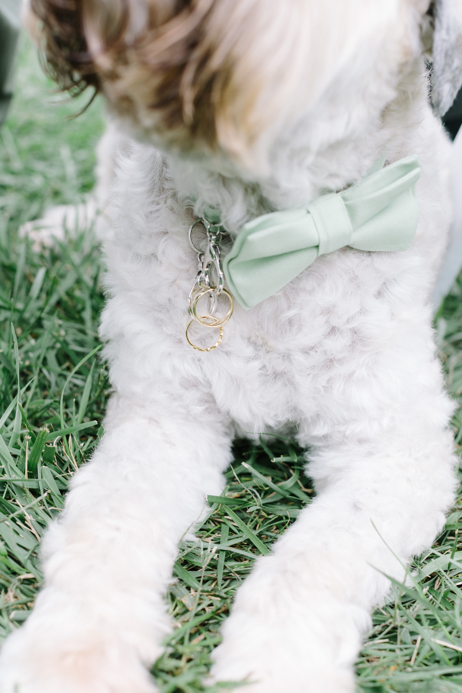 A ring bearer wedding dog has gold rings clipped to his mint green bowtie collar