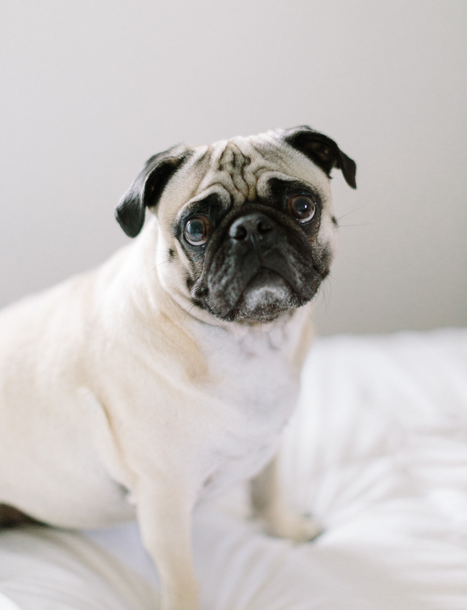 A pug with a wrinkly face looks at the camera in Detroit, Michigan
